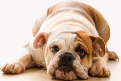 inflammatory-bowel-disease-in-dogs-cats