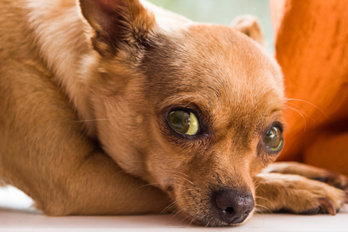 acute-liver-failure-in-dogs