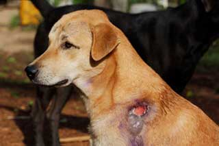 Dog with Wound