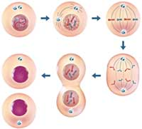 Immune Cell Activation Process
