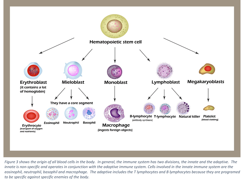 allogenic-mesenchymal-stem-cell-therapy-for-treatment-of-non-regenerative-anemia-in-dogs