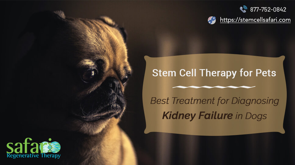 stem-cell-therapy-for-pets-best-treatment-for-diagnosing-kidney-failure-in-dogs