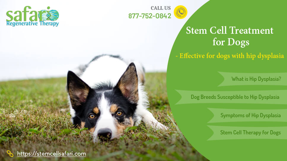 stem-cell-treatment-for-dogs-effective-for-dogs-with-hip-dysplasia