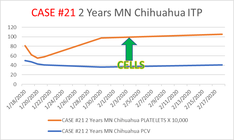 case21 2 year old MN Chihuahua mix