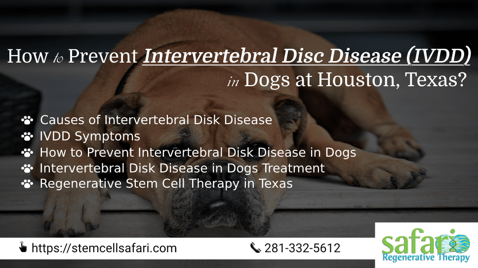 how-to-prevent-intervertebral-disc-disease-ivdd-in-dogs-at-houston-texas
