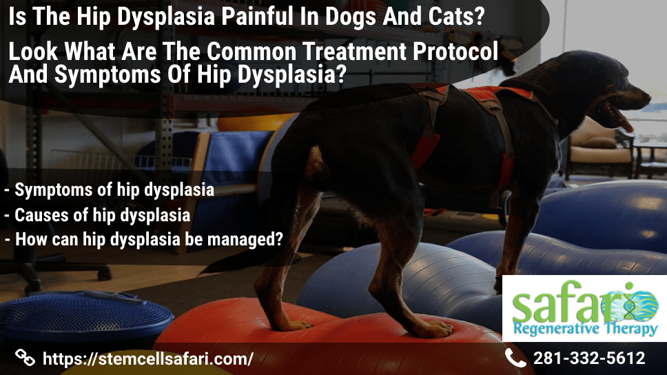 is-hip-dysplasia-painful-in-dogs-and-cats-what-are-the-common-treatment-protocol-and-symptoms-of-hip-dysplasia