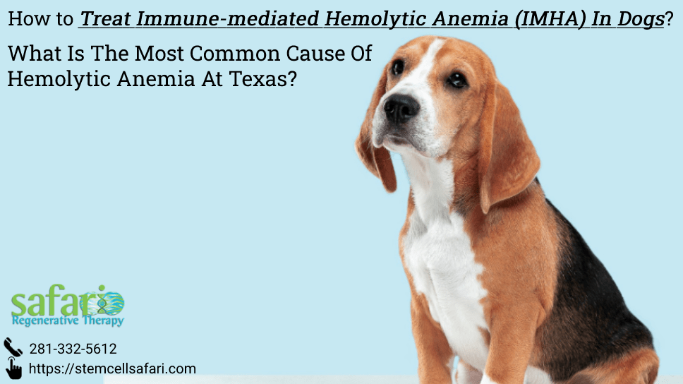 how-to-treat-immune-mediated-hemolytic-anemia-imha-in-dogs-what-is-the-most-common-cause-of-hemolytic-anemia-at-texas