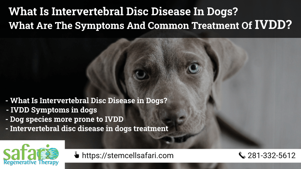 what-is-intervertebral-disc-disease-in-dogs-what-are-the-symptoms-and-common-treatment-of-ivdd